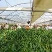 Пољопривредници из Јагодине обишли пластенике у околини Паралије