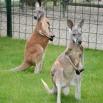 Црвени кенгури нови становници јагодинског ЗОО врта
