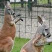 Деца изабрала имена за кенгуре